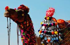 Decorated Fleasing Camel, Pushkar, Ajmer stock photo