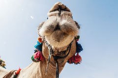 The decorated head of a camel, close-up, against a sky backgroun Royalty Free Stock Photography