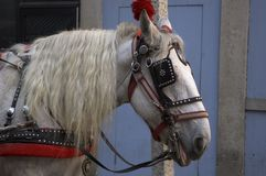 Decorated horse. A profile of a white horse wearing blinders Royalty Free Stock Photo