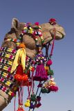 Decorated Indian Camel. Head and neck of a camel decorated with colorful tassels, necklaces and beads. Desert Festival, Jaisalmer, India Royalty Free Stock Photos
