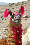 Decorated lama Royalty Free Stock Image
