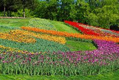 Decorated lawn with multicolored tulips Stock Photos