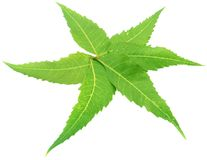 Decorated Neem Leaves royalty free stock images