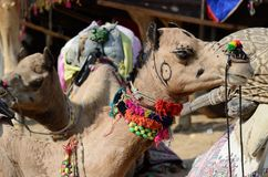 Decorated nomad camel at famous asian cattle festival,India. Decorated nomad camel at famous asian cattle festival in hindu holy town Pushkar,Rajasthan, India Royalty Free Stock Photo