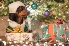 Decorated small dog breed dachshund in Santa`s cap and green jacket, with gifts on a background festive jewelry Christmas tree.  stock photos