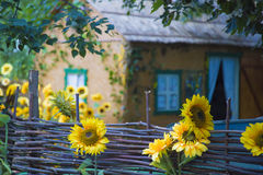 Decorated sunflower fence yard in the village. Stock Photography