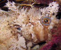 Decorated warbonnet fish hiding Stock Photos