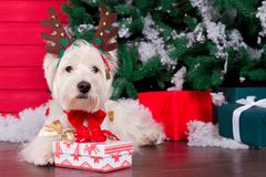 Christmas Dog as symbol of new year. Decorated west highland white terrier dog as symbol of 2018 New Year with red bow tie, decorative bows and christmas deer stock images