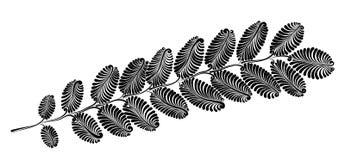 Decoratief acaciablad Stock Afbeelding