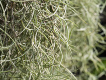 Decoratief Spaans Moss Hanging stock foto