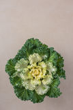 Decoratieve bloemkool Stock Fotografie