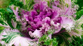 Decoratieve bloemkool - decoratie in de de zomertuin stock foto's
