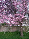 Decoratieve bomen met roze bloemen Royalty-vrije Stock Afbeelding