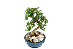 Decoratieve bonsay boom Stock Afbeelding