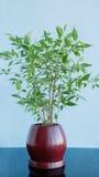 Decoratieve boom in een kleipot op een blauwe achtergrond Royalty-vrije Stock Afbeeldingen
