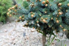 decoratieve dwergpijnboom Royalty-vrije Stock Afbeelding