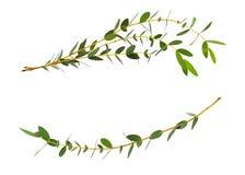 Decoratieve eucalyptus groene bladeren in golfregeling Stock Foto's