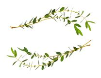Decoratieve eucalyptus groene bladeren in golfregelingen Royalty-vrije Stock Foto