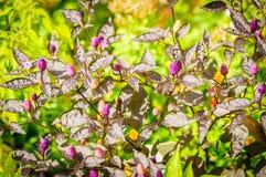 Decoratieve gekleurde kleine Peper Royalty-vrije Stock Fotografie