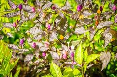 Decoratieve gekleurde kleine Peper Stock Foto