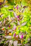 Decoratieve gekleurde kleine Peper Lilac peper Royalty-vrije Stock Afbeelding