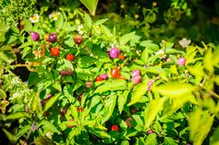 Decoratieve gekleurde kleine Peper Lilac en Spaanse pepers Royalty-vrije Stock Fotografie