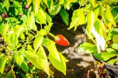 Decoratieve gekleurde kleine Peper Spaanse peper in nadruk Stock Afbeeldingen