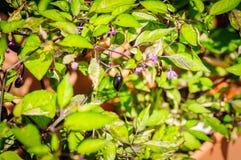 Decoratieve gekleurde kleine Peper Zwarte peper in nadruk Royalty-vrije Stock Afbeelding
