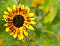 Decoratieve gele grote Zonnebloem in de zomertuin Royalty-vrije Stock Fotografie