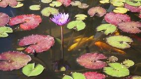 Decoratieve gouden en rode vissen die in een vijver zwemmen stock footage