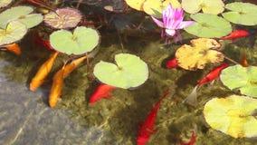 Decoratieve gouden en rode vissen die in een vijver zwemmen stock video