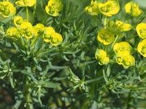 Decoratieve graswolfsmelk met gele bloemen voor de tuin stock fotografie