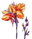 Decoratieve heldere oranje Irisbloem Stock Foto's