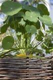 Decoratieve houseplant. Stock Afbeelding