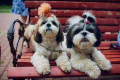 Decoratieve rassenhonden Kleine binnenlandse hond hond onder de bedhuiden Japanse hinhond royalty-vrije stock afbeeldingen