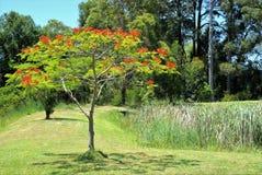 Decoratieve rode bloemboom in tuin Stock Afbeelding