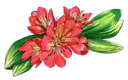 Decoratieve rode tropische miniata van bloemclivia in bloesem Botanische illustratie Stock Afbeelding