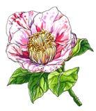 Decoratieve roze Cameliajaponica Botanische illustratie Stock Foto's