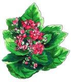 Decoratieve roze Kalanchoe-cactus in bloesem vector illustratie