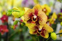 Decoratieve samenstelling van gele bevlekte phalaenopsisorchideeën stock afbeeldingen