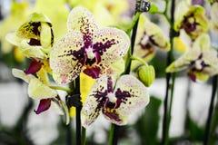 Decoratieve samenstelling van gele bevlekte phalaenopsisorchideeën royalty-vrije stock fotografie