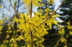 Decoratieve struikforsythia met gele bloemen Stock Fotografie