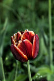Decoratieve Tulp Gecultiveerde bloem Stock Fotografie