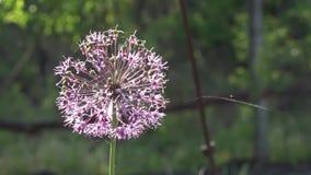 Decoratieve ui Allium Bloeiwijzen Een mirakel van de ballen De purpere bloeiwijzen stock footage
