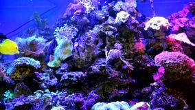 Decoratieve vissen in een groot aquarium stock video