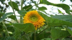 Decoratieve zonnebloem Teddy royalty-vrije stock afbeelding