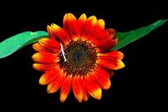 Decoratieve zonnebloemen Royalty-vrije Stock Fotografie