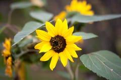 Decoratieve zonnebloemen Stock Afbeelding