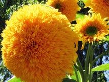 Decoratieve zonnebloemen van het sluiten Stock Afbeeldingen