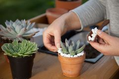 Decorating Succulent Pots. Decorating clay pots with succulent plants with marble gravel at garden bench in backyard Royalty Free Stock Image